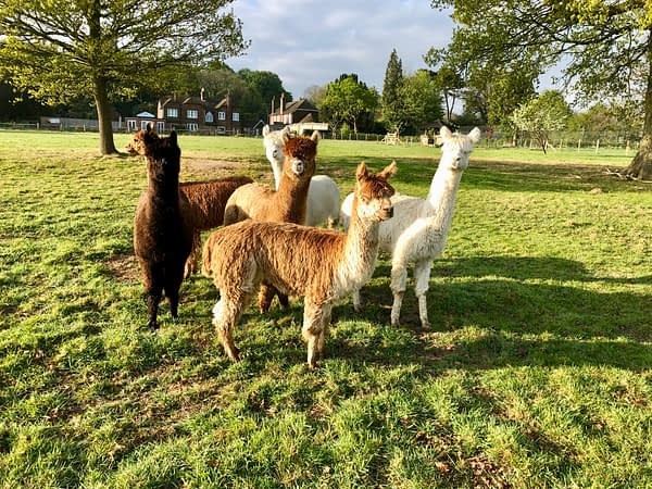 Alpacas at Bewl Rookery