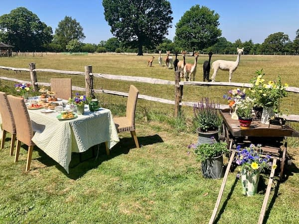 Afternoon tea and the lost link to Alpacas