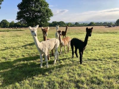 Bewl Rookery alpacas