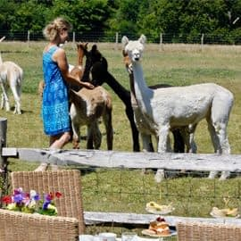 lunch-with-our-alpacas-2-1