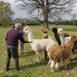 lunch-with-our-alpacas-2-6