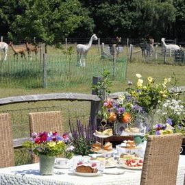tea-with-our-alpacas-1-3